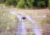 Hey, this really is a picture of a wild dog in Botswana, I'm just a crappy photographer